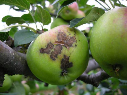 Omenapuun Tuholaiset